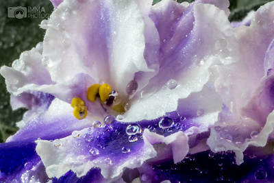 At my Window Sill (African Violet)