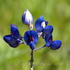 Close Up Of A Texas Bluebonnet