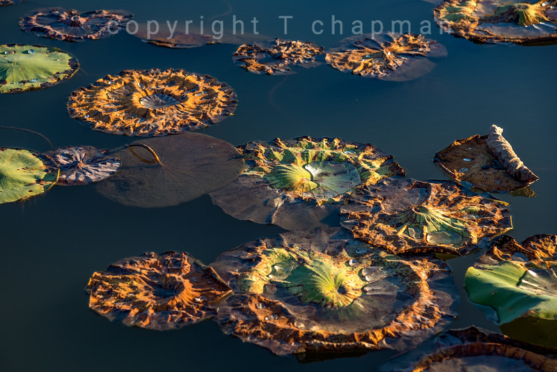 Rusted Lily Pads