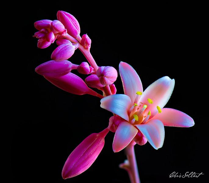 Pink Yucca-2
