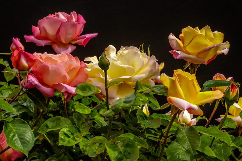 Roses on Black 1