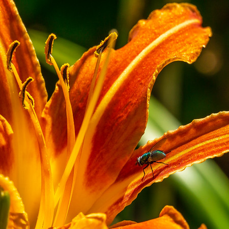 A Transient Visitor to an Orange DayLily
