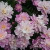 Ann Arbor Arb, Peony Garden - 8 June 2014