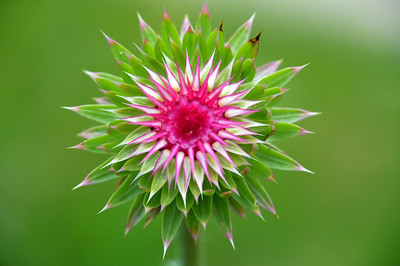 Beauty of the Musk Thistle (Carduus nutans)
