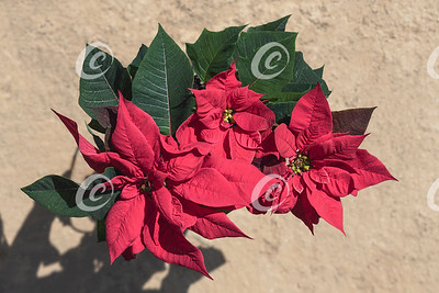 Traditional Red Poinsettia Plant in a Natural Outdoor Setting