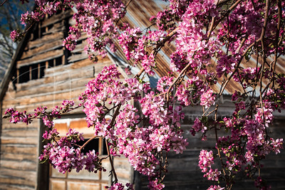 Crab Apple Blossoms at the Barn