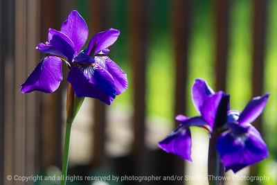 015-flower_iris-ankeny-05jun20-12x08-008-400-7000