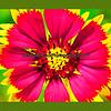 enhanced Blanket Flower