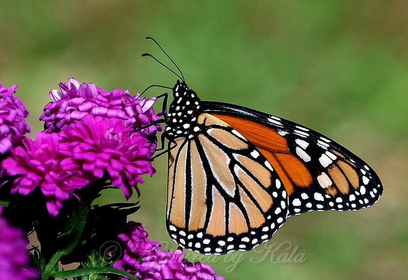 Monarch Butterfly on Pink Asters