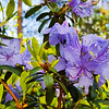 Blue Rhododendrons