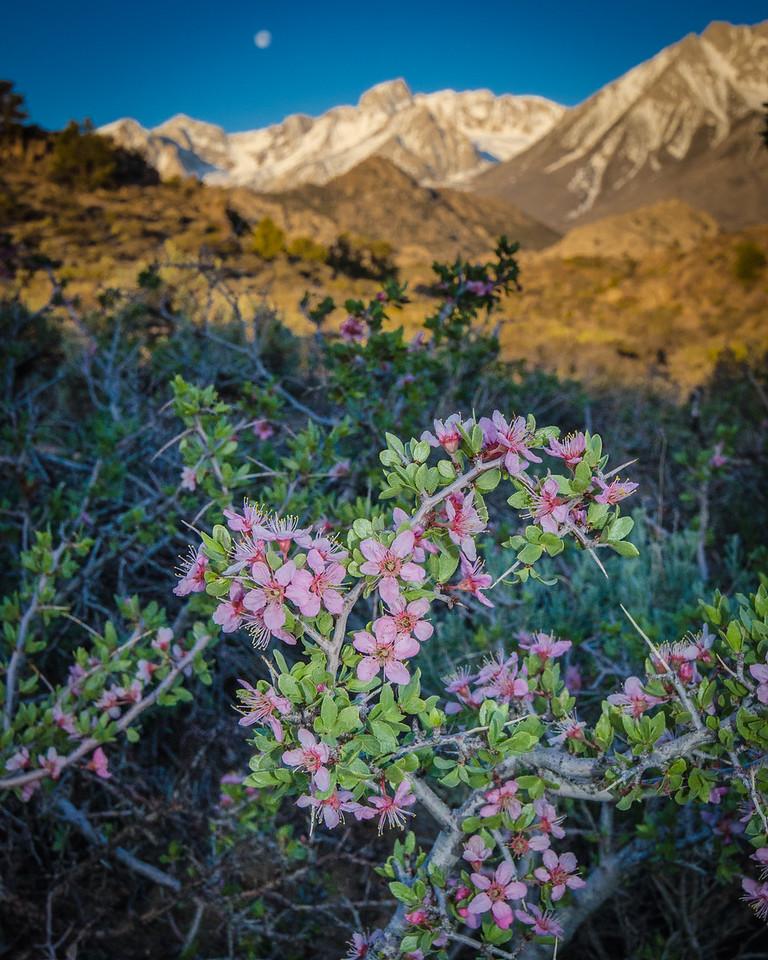Wild Desert Peach Blossoms