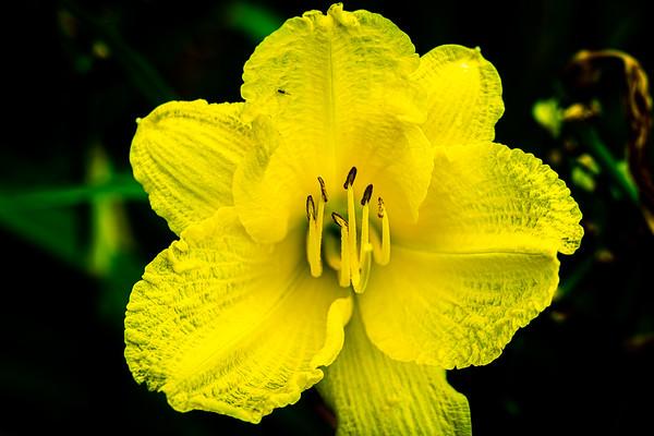 Yellow Daylily Sunburst