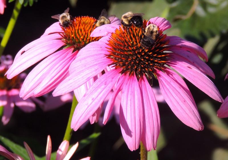 Bumblebees on Echinacea
