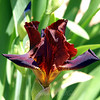 Burgundy Bearded Iris