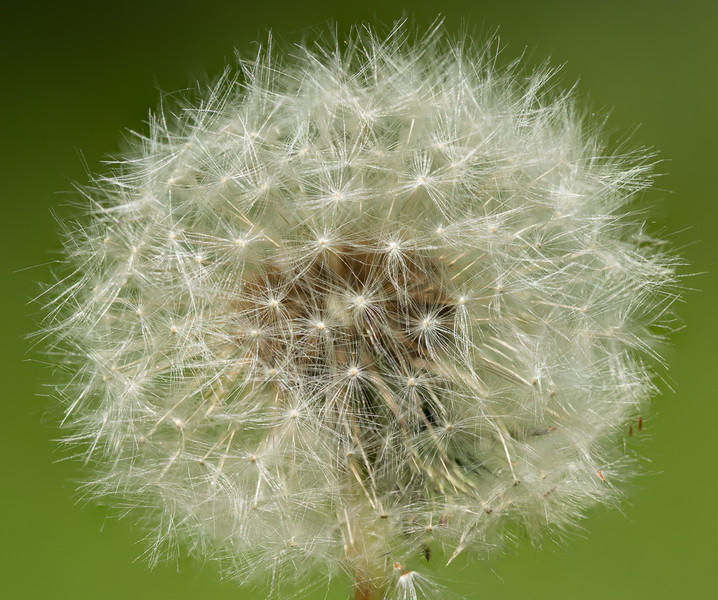 Dandelion waiting for the wind