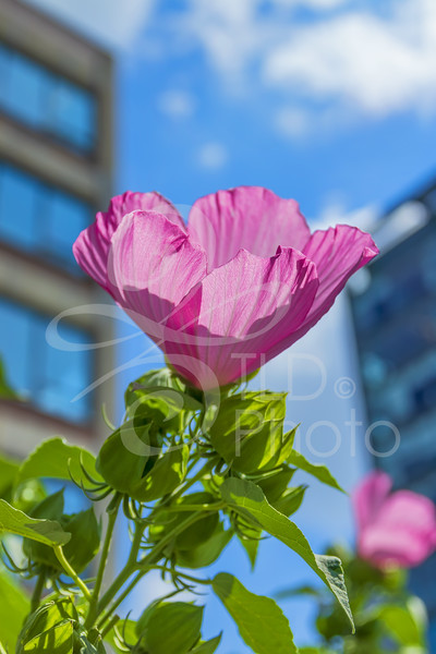 TLD_Rose of Sharon cityscape