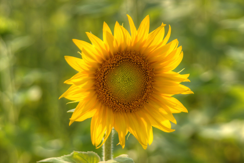 Shelly's Sunflower