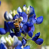 Bluebonnet Bee
