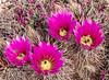 Hedgehog cactus blooms