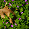 Dove's Foot Geraniums & Oak Leaf