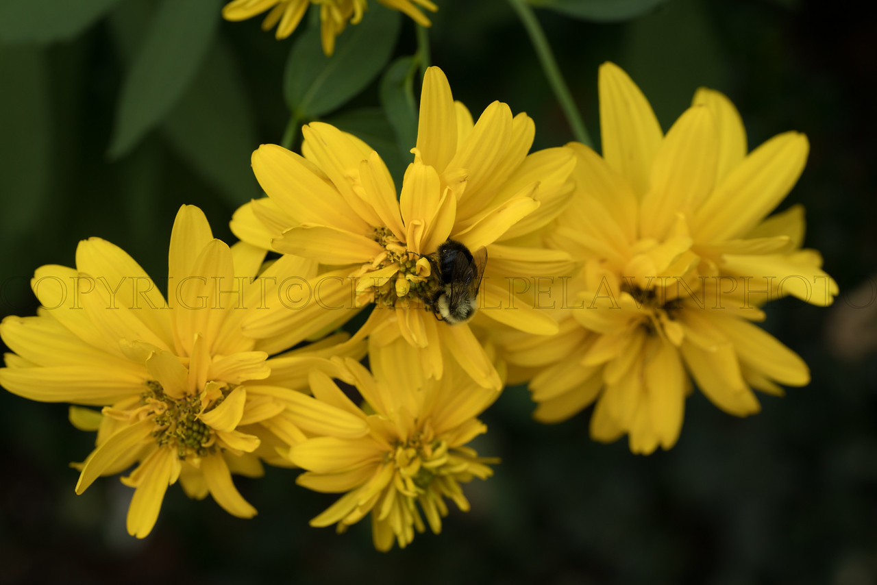 Yellow Flower and Carpenter Bee