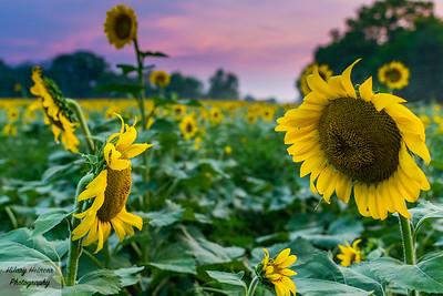 Island of Misfit Sunflowers