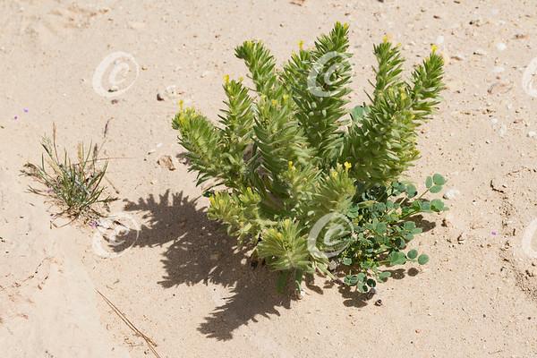 Arnebia linearifolia Plant with Tiny Yellow Flowers in Maktesh Ramon Desert in Israel