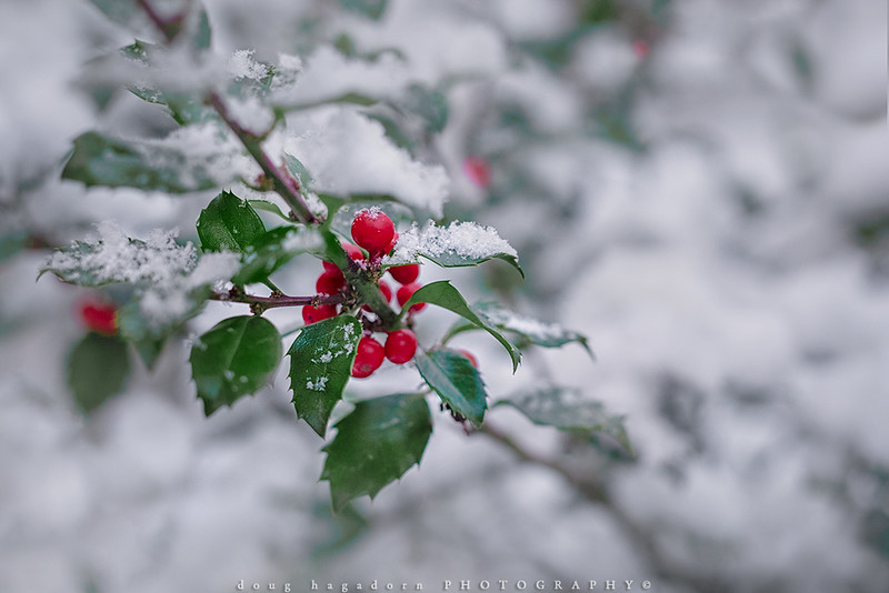 Holly, The Colour of Christmas (#0797)