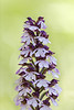 Lady Orchid / Orchis purpurea / Purperorchis