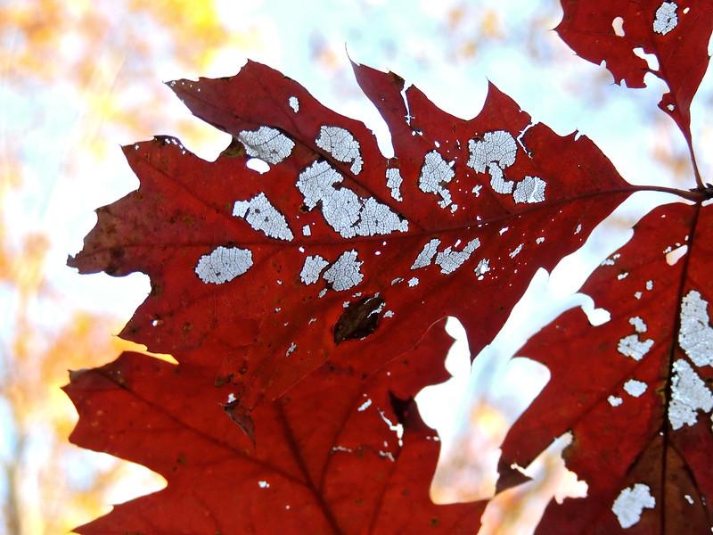 Oak Leaf Lace