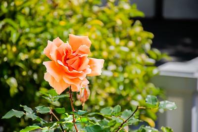 The Orange Rose of California?