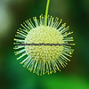 This unusual shaped plant is called a Buttonbush and was photographed in Big Cypress Preserve.
