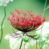 Red Queen Anne's Lace