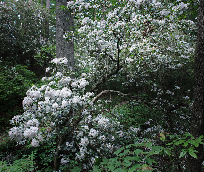 Mountain Laurel blooming in late spring along the Bartram Trail outside Clayton, Georgia.