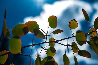 Aspen Leaves 1