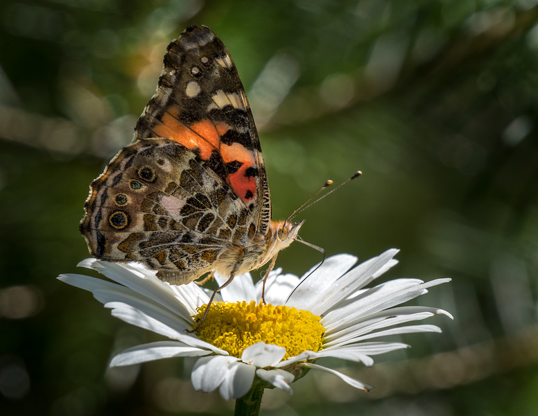 Butterfly on Daisy 1431