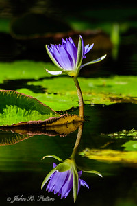 Water lily. XI