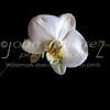 White orchid 02