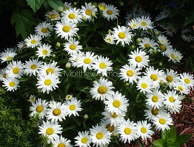 White flower with yellow button. Matricaria chamomilla,  chamomile, German chamomile, Hungarian chamomile, wild chamomile, blue chamomile, scented mayweed