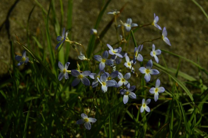 Rubiaceae -  Houstonia caerulea - Bluets