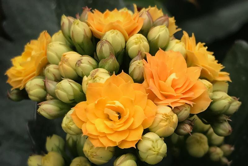 Kalanchoe Yellow horizontal