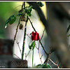 Last Rose of Summer, Tender Budding Youthful Essence of Beauty