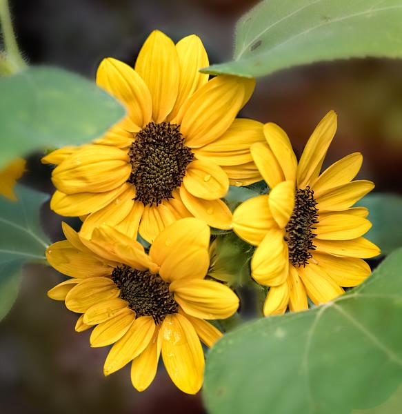 Sunflower Triplets