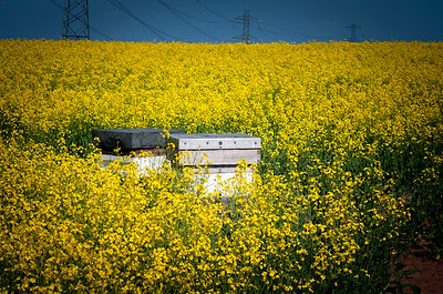 Beehives in rape field