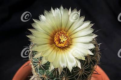 Single Yellow Sea Urchin Coryphantha radians Cactus Flower