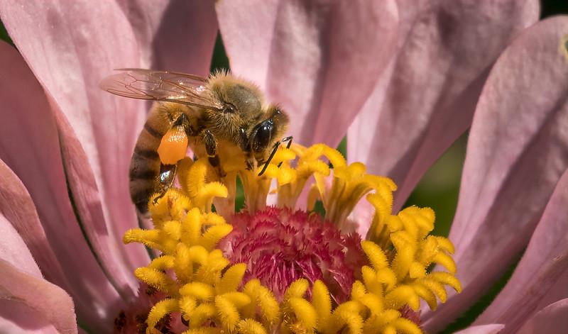 Bee on Zinnia