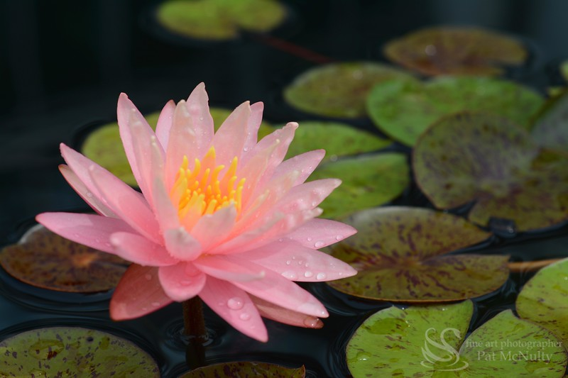 Pink Water Lilly Picture