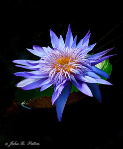 Water lily. VI