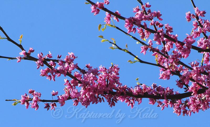 Redbud Tree Blossoms Up Close