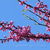 Redbud Tree Blossoms Up Close